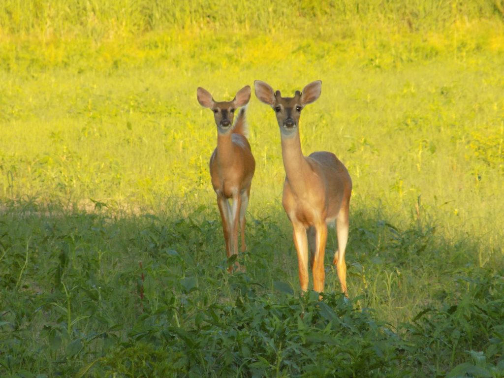 two deer standing in a field at Forum Nature Area