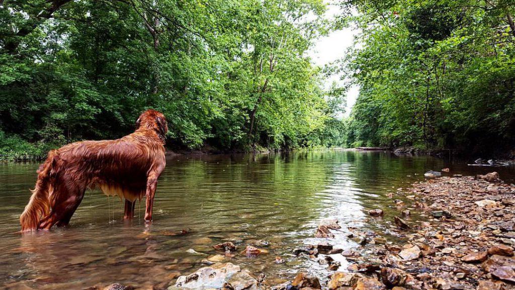 golden retriever standing in creek at grindstone nature area