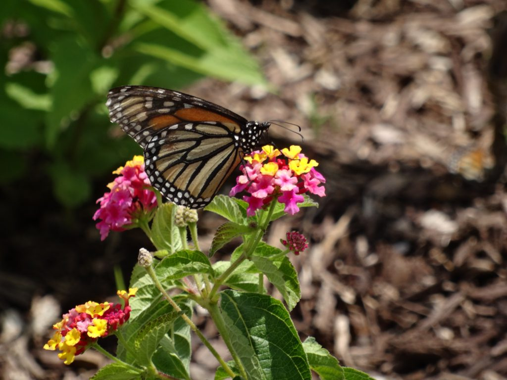 Monarch butterfly sitting on pink and yellow flowers